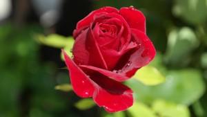 Der 10. Hochzeitstag wird auch als Rosenhochzeit bezeichnet.